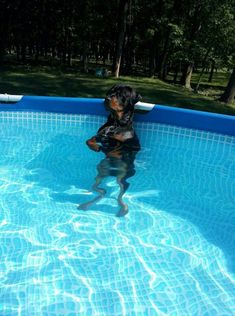 """Visit our site for more info on """"rottweiler puppies"""". It is actually an exceptional place to learn more. Rottweiler Love, Rottweiler Puppies, Beagle, Cute Puppies, Cute Dogs, Dogs And Puppies, Chihuahua Dogs, Funny Dogs, Doggies"""