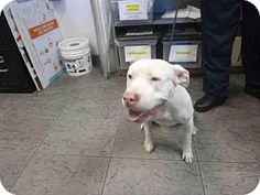 Los Angeles, CA - Staffordshire Bull Terrier. Meet JOELLE, a dog for adoption. http://www.adoptapet.com/pet/16281126-los-angeles-california-staffordshire-bull-terrier