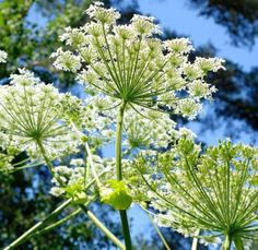 The health benefits of Angelica Essential Oil can be attributed to its properties like anti spasmodic, carminative, depurative, diaphoretic, digestive, diuretic, hepatic, emenagogue, expectorant, febrifuge, nervine, stimulant, stomachic and tonic. Angelica, botanically known as Angelica Archangelica is believed to be basically an African herb which made its way into Europe in the 16th Century, to gain tremendous popularity as a treatment for Plague which was a frequent visitor of Europe.