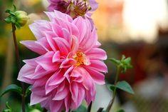 Chị em mê mẩn trồng hoa thược dược nhiều màu đón Tết - Hình 9