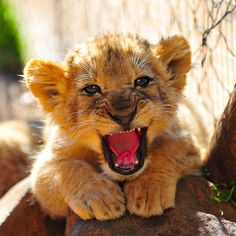 Baby Lion Roar! by Richy J on Flickr.