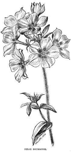 Phlox Drummondi Posted by Cora of Digital Two for Tuesday:from a 1853 Horticultural magazine