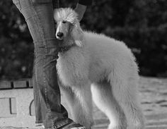 giant poodle love