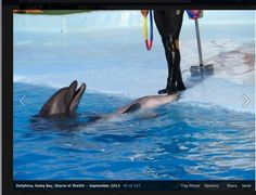 """Taiji dolphins end up in this hell.   At Dolfina Dolphinarium in Sharm-El Sheikh Egypt shocking abuse was witnessed towards the captive dolphins who did back to back shows with grueling acrobatics, followed up with two back to back """"swim-with"""" programs.   The dolphins were seen laying on their side... Powered by RebelMouse"""