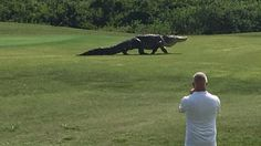 Dan Evon on Snopes Fauxtography website shows that this picture of a 15-foot alligator on a Florida golf course is real.
