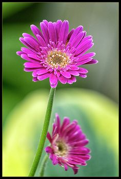 Photograph - Stand Up by Robert Fawcett , Gerbera Flower, Ikebana, Prints For Sale, Stand Up, Bonsai, Flower Arrangements, Beautiful Flowers, Backyard, Garden