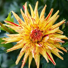 'Poppers' - 50 Gorgeous Dahlias  - Sunset