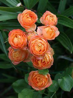 'Baby Romantica'   Miniature Rose. Meilland 2004   @ Oliver
