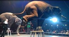 TAKE ACTION! Please ask venues still planning to host this cruel circus to consider these facts carefully and at least require that scheduled performances go forward without animals. Animal Welfare Act, Fulton County, Veterinary Care, Stop Animal Cruelty, Parks And Recreation, Peta, Animal Rights, Park City, Big Cats