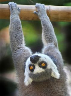 Ring-tailed Lemur- Chin-Ups ?