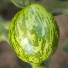 1000+ images about Tomatoes on Pinterest   Wild boar ...