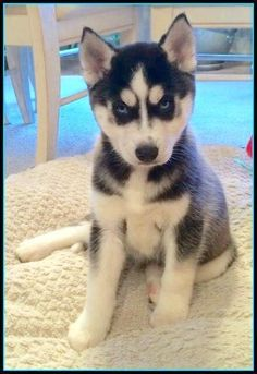 Wonderful All About The Siberian Husky Ideas. Prodigious All About The Siberian Husky Ideas. Husky Corgi, Cute Husky, Siberian Husky Dog, Alaskan Husky, Pet Dogs, Dog Cat, Pets, Doggies, Cute Puppies