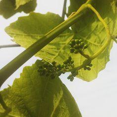 """@onzesuus's photo: """"Het eerste (en enige) trosje druiven.  #kweken #fruit #druiven"""""""