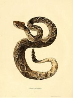 John Edwards Holbrook / North American Herpetology / 1836-40
