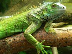 Zoo de Beauval - Iguane 09