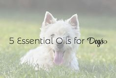 Have you thought about using essential oils for your dog but just not sure how to get started? Keep reading to learn more about pets and aromatherapy!