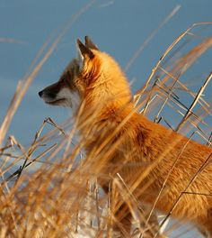 Red Fox at Bombay Hook | The background is the ice of the fr… | Flickr