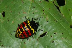 Erotylus incomparabilis,Zigzag fungus beetle,  2090, CICRA Trails ,Manu National Park, Peru ,25 septembre 2014-XL.jpg (1024×683)