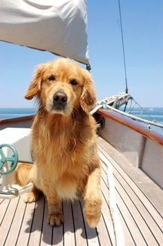 Golden Retrievers love the water, ocean and sailing