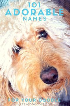 Searching for a goldendoodle name that's as adorable as your new pup? These 101 dog names will inspire you! Have fun browsing this list of goldendoodle dog names categorized by your dood's physical appearance-color and size. Most of all, we hope that ea Goldendoodle Names, Mini Goldendoodle Puppies, Goldendoodles, Labradoodles, Rottweilers, Puppy Names, Dog Names, Poodle Mix Breeds, Pet Dogs