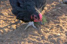 Australorp Chicken (c) Chantille Fleur