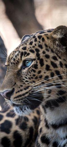 A jaguar leopard hybrid face portrait - Belezza,animales , salud animal y mas Jaguar Leopard, Jaguar Animal, Leopard Face, Nature Animals, Animals And Pets, Cute Animals, Beautiful Cats, Animals Beautiful, Lynx Du Canada