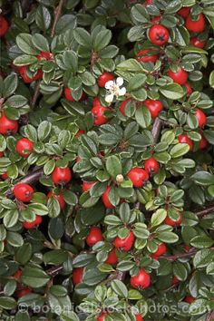 Cotoneaster apiculata Creeping Cranberry Cotoneaster- excellent for planting along the edges of driveways, borders and rock gardens. Gorgeous three season plant will cascade over retaining walls,thrives in sun, heat and drought
