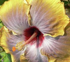 Hibiscus Glow