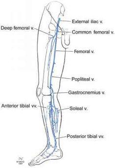 FIGURE 2.12 Deep veins of the leg. Leg Vein Anatomy, Deep Fascia, Subcutaneous Tissue, Vascular Disease, Lower Abdomen, Thigh Muscles, Sciatic Nerve