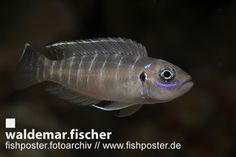 fishposter Fotoarchiv Neolamprologus brevis
