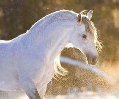Baroque Horses - Equine Photography by Ekaterina Druz