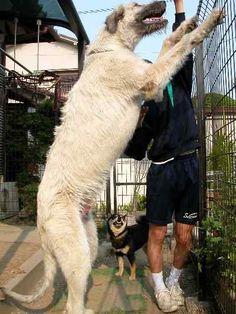 IRISH WOLFHOUND holy crap BIG DOG!!