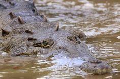 crocodile safari tour croc swimming   - Costa Rica