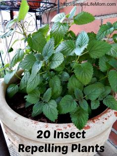 20 Insect Repelling Plants that you can place around your deck, yard, garden, and home.