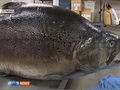 Enormous New Zealand brown trout is possibly a world record at 42lbs, 1oz   GrindTV.com