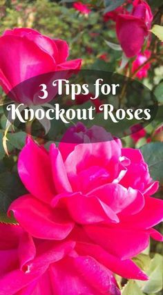 Rose Gardening For Beginners 3 Care Tips for Knock Out Roses ~ Gwin Gal Inside and Out - Knockout roses are relatively carefree, but they do take some basic care. Mine were neglected because I just didn't know how to care for knockout roses. Gardening For Beginners, Gardening Tips, Organic Gardening, Flower Gardening, Vintage Gardening, Kitchen Gardening, Gardening Services, Succulent Gardening, Greenhouse Gardening