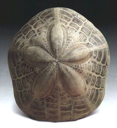 Exquisite sand-dollar shell fossil