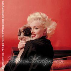 Marilyn Monroe photographiée par Milton H Greene le 28 mars 1955, avec les chiens pékinois du coiffeur Sidney Guilaroff, dans la maison de...