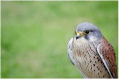 Difference Between Hawks and Falcons | : Falcons are NOT hawks. While both are raptors, falcons and hawks ...