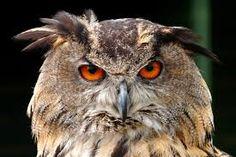 Resultado de imagen para Owls