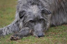 Scottish Deerhound , my fantasy dog .