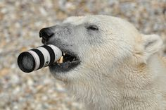Felix the polar bear chews on a £1,300 camera lens dropped into his enclosure at Nuremberg Zoo, Germany. The giant 10ft bear quickly investigated the new toy, before realising it couldn't be eaten and hurled it into his pool.    http://www.fotocommunity.de/pc/pc/cat/10358/display/29146127