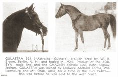 Gulastra AHR 521  1924 chestnut stallion by *Astraled x Gulnare  Bred by W.R. Brown  Early American Foundation, also Straight Egyptian (Pyramid Society  Rules), Al Khamsa & Asil, Blue List, SOF & Heirloom, Straight Crabbet  - 117 foals -  Photo Credit: Arabian Horse News
