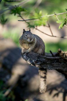 (Perched by photosoedarmo) Little Critter, Wild Dogs, Mundo Animal, All Gods Creatures, Chipmunks, Beautiful Creatures, Animal Kingdom, Mammals, Woodland