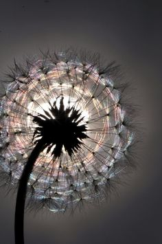 Dandelion ♥ Reminds me of the one very vivid reoccurring dream I used to have as a child. I'm on a park bench sitting next to an elderly man whom I don't know. He turns to me as I'm holding a dandelion & asks if I'd like to know the secret to life. Fotografia Macro, Macro Photography, Amazing Photography, Light Photography, Creative Photography, Pretty Pictures, Cool Photos, Amazing Pictures, Jolie Photo