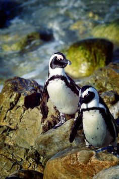 Some Penquins In Reserve in Bettys Bay about 80km from Cape Town