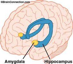 Amygdala and Hippocampus