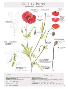 Shirley Poppy (Papaver rhoeas) Foraging & Feasting: A Field Guide and Wild Food Cookbook by Dina Falconi; illustrated by Wendy Hollender.