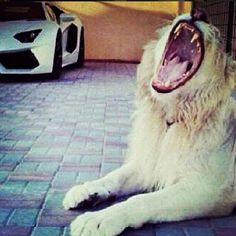 Big cats and fast cars are the hallmarks of the #narcostyle Instagram hashtag, as this Zeta Cartel member from Veracruz, which controls Mexico's east coast, photos shows