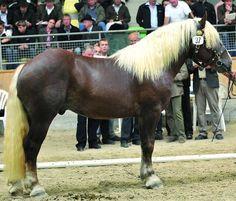 Noriker / Pinzgauer - stallion Erz Vulkan XV       I LOVE THE COLOR